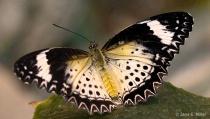 Unique Tropical Butterfly