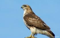A Watchful Eye, Hawk