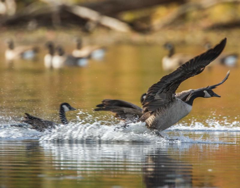 Water Landing - ID: 14744363 © Walter B. Biddle