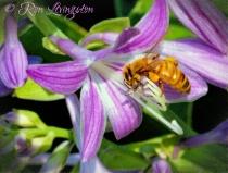 Bee on Cosmic Blue Flower