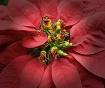 Perky Poinsettia