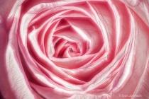 Artistic Pink Rose Macro 255