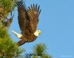 Eagle at Moment o...