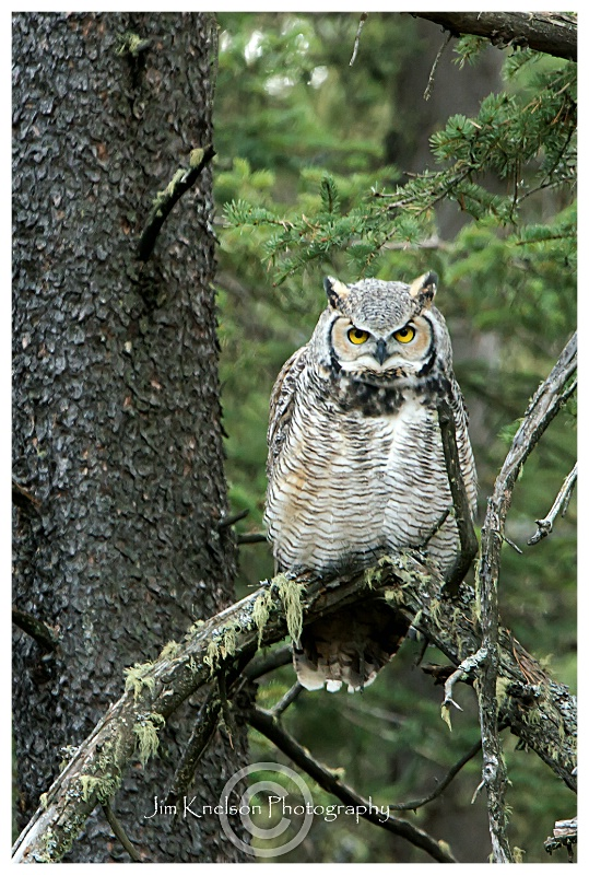 Great Horned Owl, Spruce Coulee, CHIP - ID: 14764280 © Jim D. Knelson