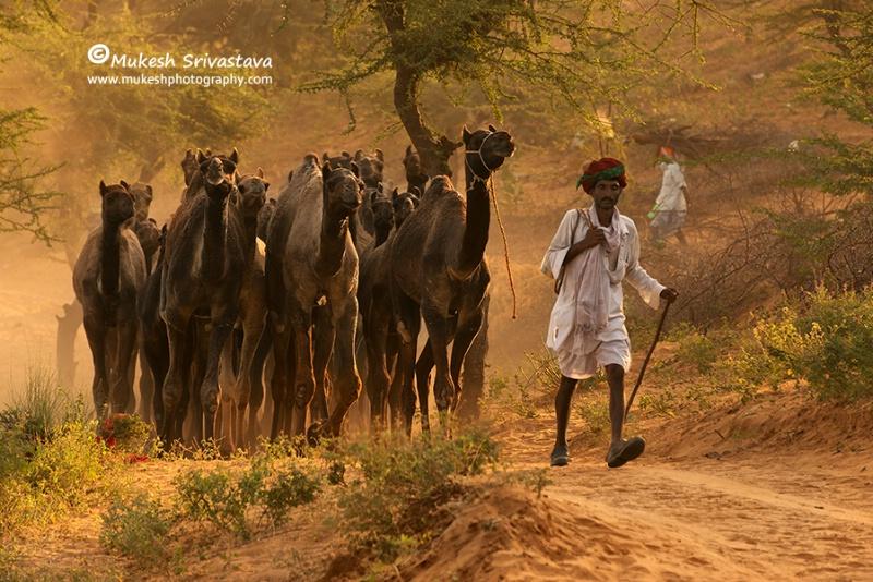 Camel Caravan-3