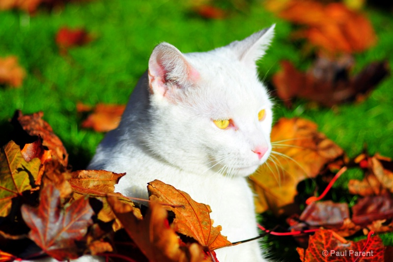 Yahoo the White Cat - ID: 14771596 © paul parent