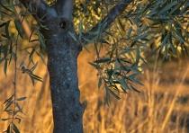 Olive Orchard (telephoto)