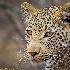 © Peter Pischler PhotoID# 14778762: Portrait of a young leopard