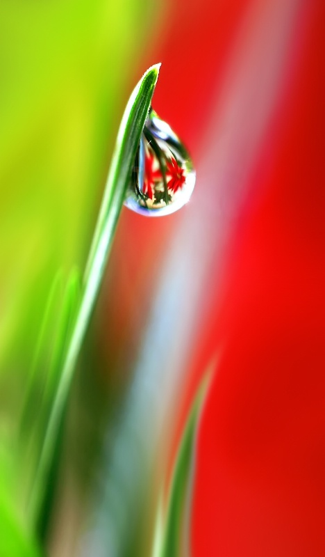 Poinsettia Reflection