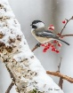 Black-Capped Chic...