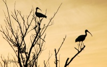 Ibis Silhouettes Against the Evening Sky