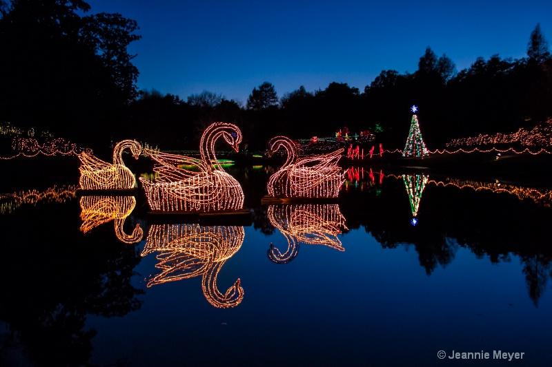 Three Swans Swimming