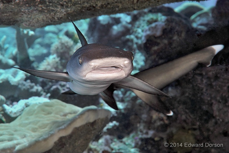 Juvenile Whitetip Shark in Overhang - ID: 14789075 © Edward Dorson