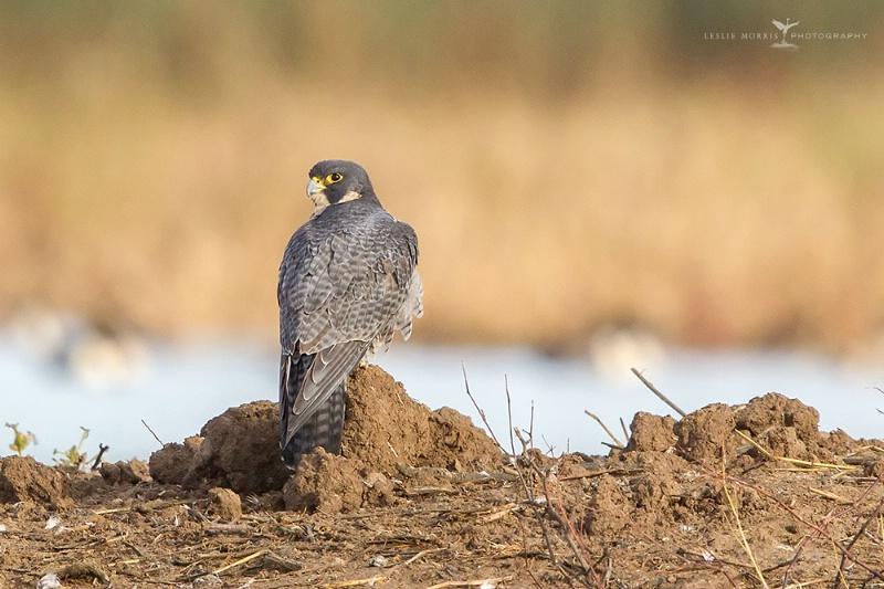 Pregerine Falcon - ID: 14790397 © Leslie J. Morris