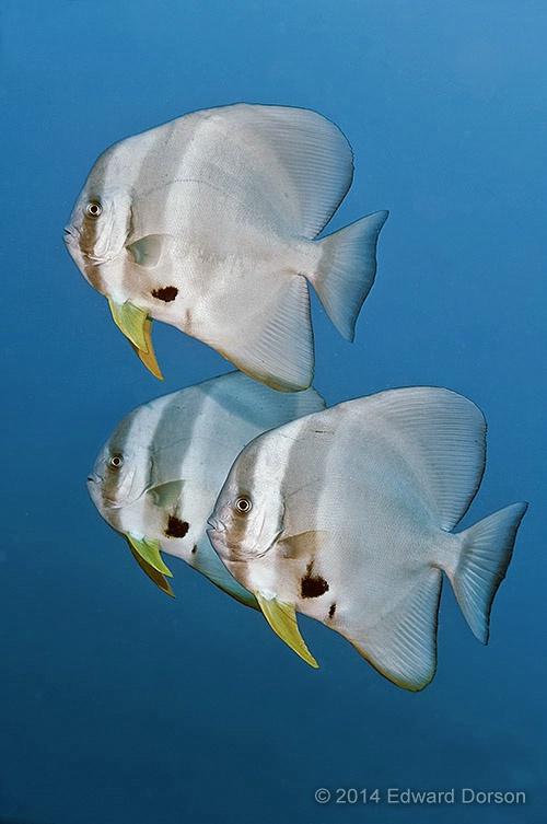 Batfish Trio - ID: 14790780 © Edward Dorson