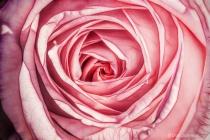 Artistic #2 Pink Rose Macro 255