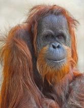 Orangutan; Atlanta Zoo