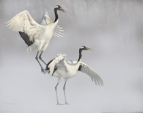 Red Crown Cranes in Snow
