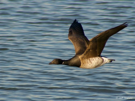 I Look Cool!!!  Brant In Flight