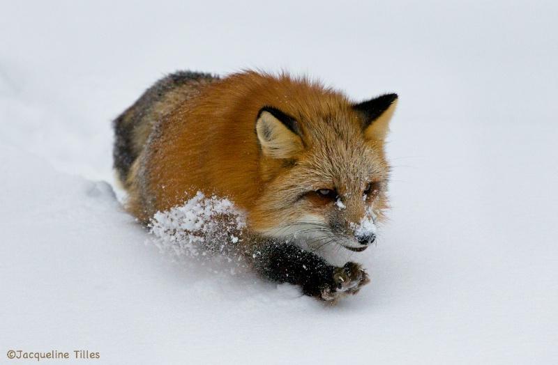 RED FOX - ID: 14807994 © Jacqueline A. Tilles