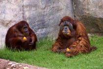 Orangutans Eating an Orange