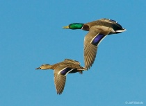 Clear Skies Ahead!!  Ducks In Flight