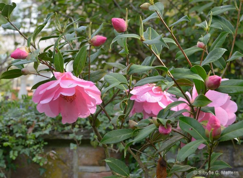 "Camellia ""Mary Phoebe Taylor"" - ID: 14810176 © Sibylle G. Mattern"