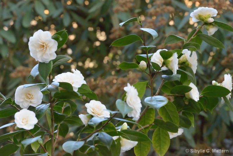 """Camellia """"Shiragiku"""" - ID: 14810177 © Sibylle G. Mattern"""