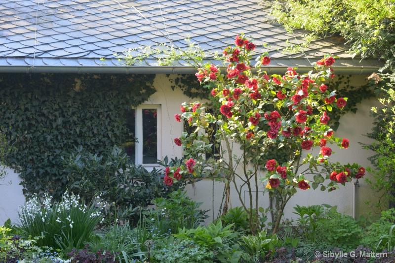 """Camellia """"Dr Burnside"""" - ID: 14810178 © Sibylle G. Mattern"""