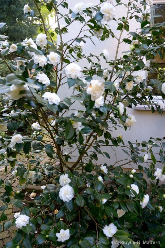 """Camellia """"Shiragiku""""  - ID: 14810179 © Sibylle G. Mattern"""