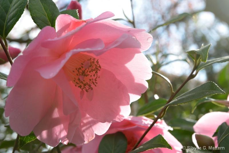 "Camellia ""Mary Phoebe Taylor"" - ID: 14810180 © Sibylle G. Mattern"