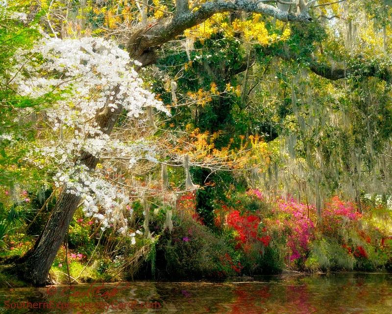 Spring at Magnolia Gardens - ID: 14810605 © Carol Eade