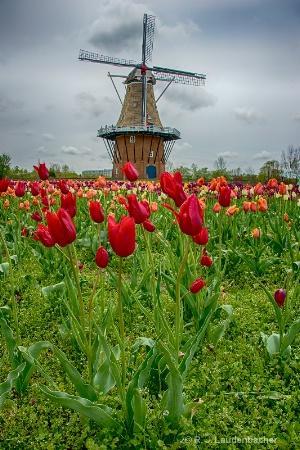 De Zwaan Tulips