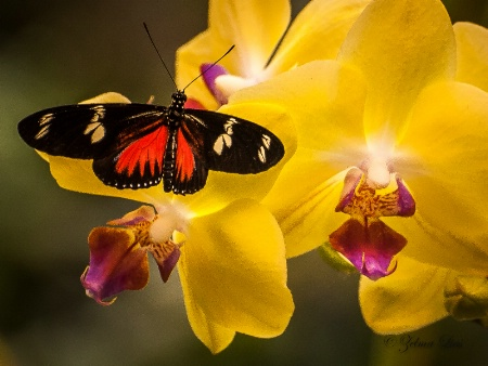 Butterfly Visits Yellow Orchid
