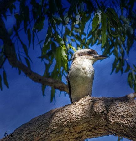 KOOKABURRA in the trees