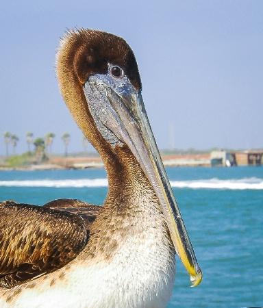 Sociable Brown Pelican