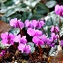 © Sibylle G. Mattern PhotoID # 14824260: January: Cyclamen coum