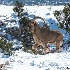 2Aoudad in snow - ID: 14824276 © Sherry Karr Adkins