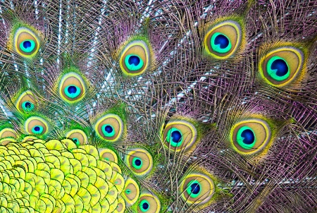 Colors of a Peacock