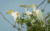 Three Watchful Egrets