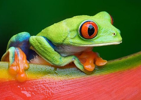 Blue-Backed Tree Frog