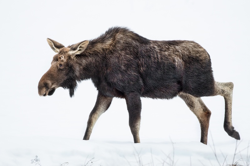 Moose on the loose - ID: 14830125 © Richard Palmer