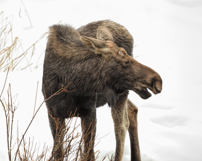 Moose in the snow - ID: 14830126 © Richard Palmer