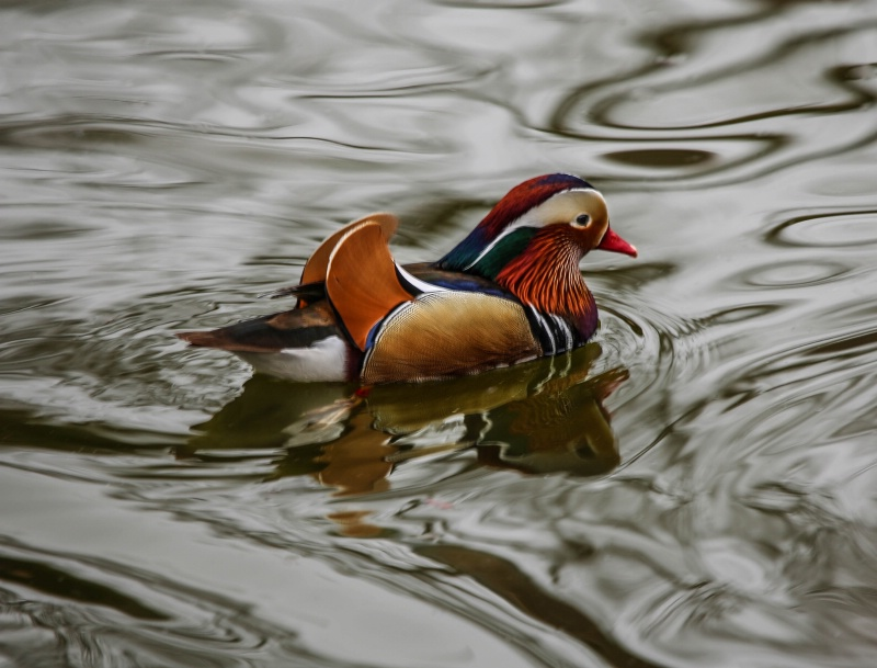 Mandarin Duck making waves