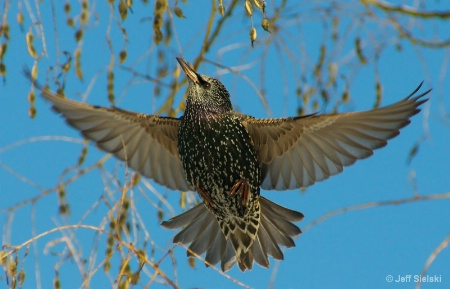 All Stretched Out!!!  European Starling