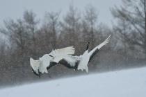 Dancing cranes in snow