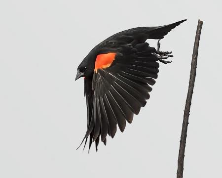 Flight Of The Redwing