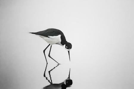 Black Necked Stilt On A Foggy Morning