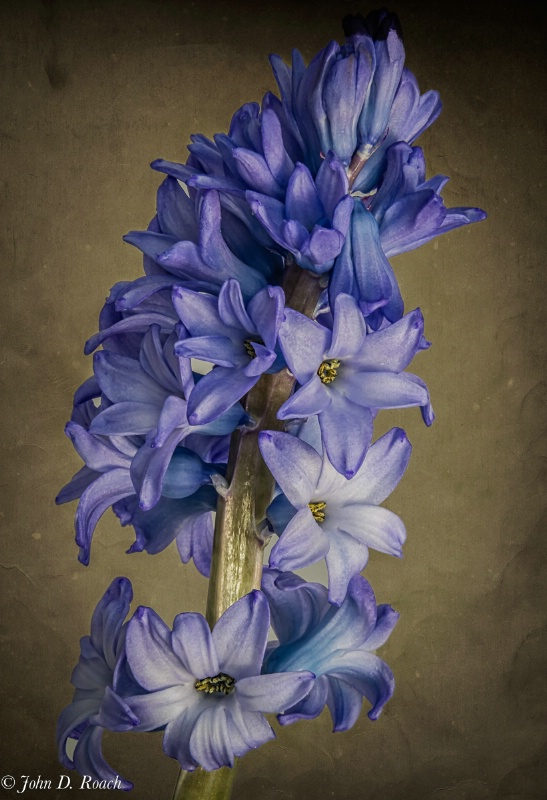 Hyacinth for you