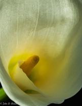 Calla Lily - Study in Light